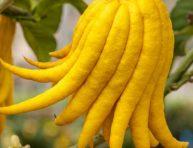 imagen Cómo cultivar el limonero mano de Buda