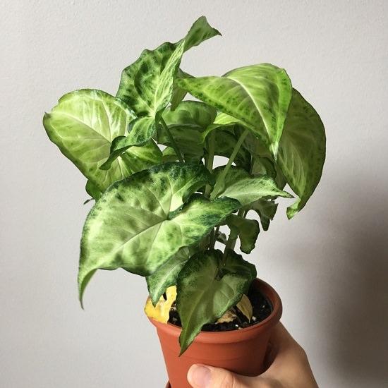7 Plantas De Hojas En Forma De Corazón