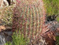 imagen Cactus con flores amarillas de poco mantenimiento