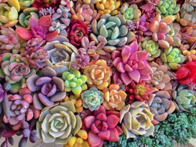 suculentas coloridas