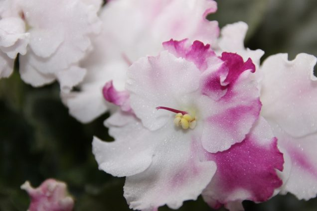 trasplantar las violetas africanas