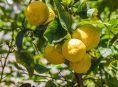 imagen ¿Cómo hacer que el limonero dé más frutos?
