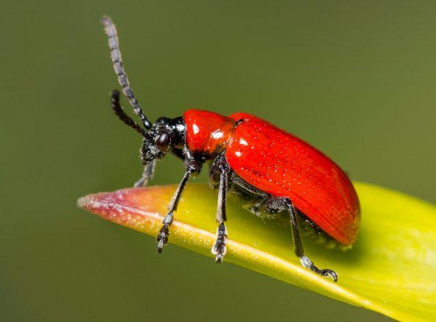 Escarabajo del lirio rojo