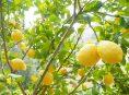 imagen Aprende a abonar un limonero fácilmente
