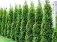 imagen Crea un muro de árboles en tu jardín para más privacidad