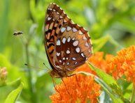 imagen Cultiva el algodoncillo anaranjado en tu jardín