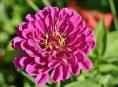 imagen Descubre las variedades de Zinnia y cómo cultivarlas