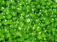 imagen Cuidados y cultivo del Galium o Aspérula