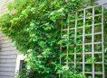 imagen 8 enredaderas con flores que le darán alegría tu jardín