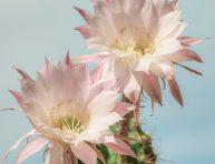 imagen 10 tipos de cactus que crecen en Latinoamérica