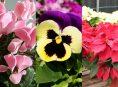 imagen ¿Qué cultivar en invierno para tu jardín de flores?
