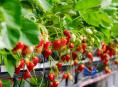 imagen Cómo cultivar fresas hidropónicamente