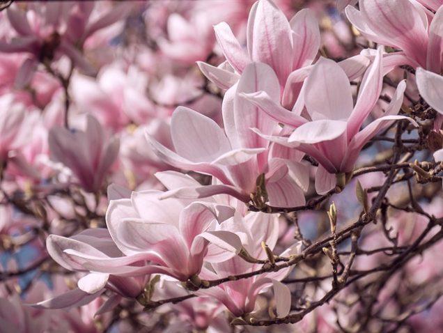 cultivar una magnolia mediante semillas