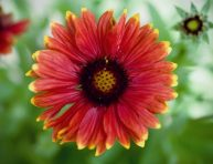 imagen La Gaillardia o flor combinada