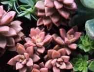 imagen Aprende más sobre la suculenta Graptoveria