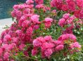 imagen Flores que florecen más de una vez