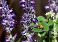 imagen Propaga las plantas de Ajuga esta primavera