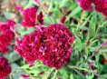 imagen ¡Llegó la hora de sembrar la Celosia cristata!