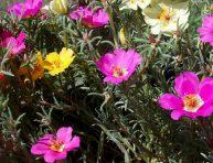 imagen Siembra la portulaca y disfruta de sus flores en verano