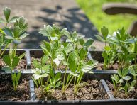 imagen Cómo cultivar apio de monte (levisticum officinale)