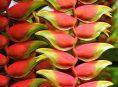 imagen Heliconia, flor tropical pariente de los plátanos