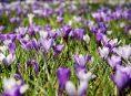 imagen Bulbos para jardines de rocas