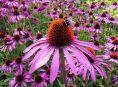 imagen Plantas perennes tolerantes a la sequía que florecen en verano