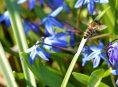 imagen Conoce cuatro hermosas variedades de Scilla