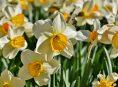 imagen 3 narcisos grandes que florecen cada año