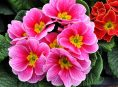 imagen Hermosas prímulas dobles para tu jardín o macetas
