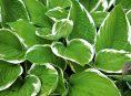 imagen Hostas como plantas compañeras de azaleas y rododendros